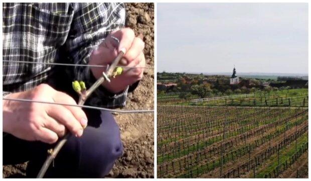 České a francouzské vinice . Foto: snímek obrazovky YouTube