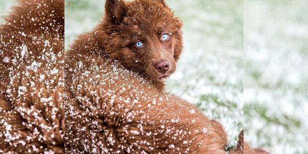 """""""To není vlk"""": Dívka cestuje se svým neobvyklým psem husky čokoládovou barvou"""