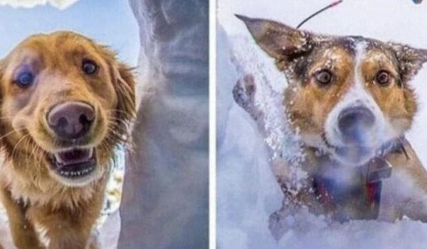 Najít člověka pod tloušťkou sněhu: jaký je hlavní úkol záchranářského psa