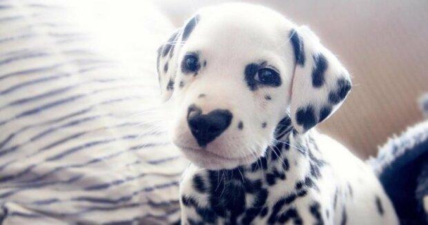 Kouzlo: Tříletá Nelly porodila 18 malých dalmatských štěňat