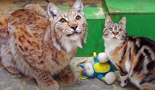 Přátelství mezi rysem a kočkou. Foto: snímek obrazovky YouTube