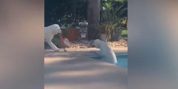 Labradorský retrívr zachránil z vody svou sestru pomocí lana