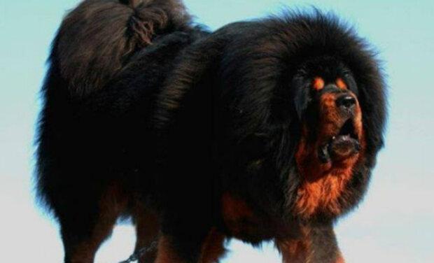 Nejlepší psi pro domácí bezpečnost podle psovodů