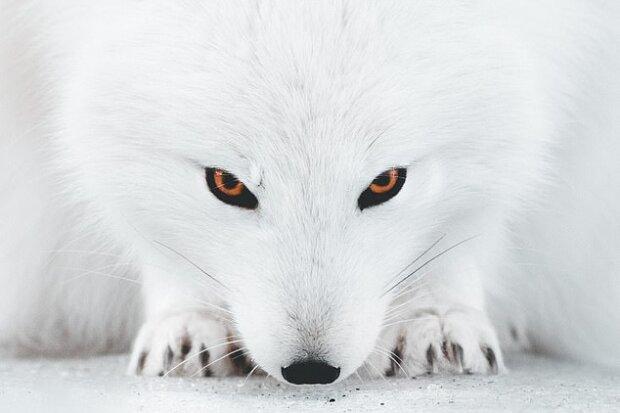 """""""Perfektní maskování"""": jak vypadá vzácná polární liška na sněhu"""