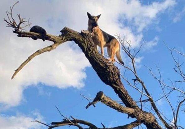 Ovčák byl unesen pronásledováním kočky a nevšiml si, jak vylezl na vrchol stromu