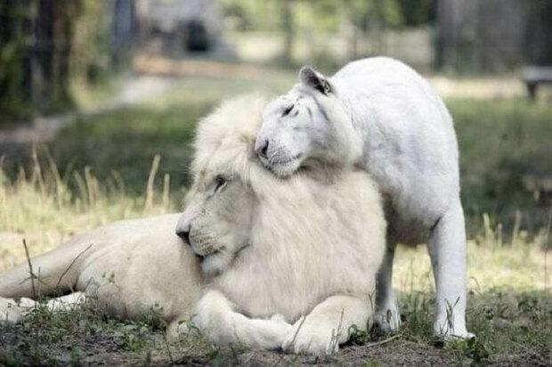 Bílý lev a tygřice měli krásná miminka