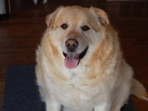 Pes vážil 78 kg a dokonce ho chtěli uspat, ale pes byl zachráněn a zbavili ho utrpení