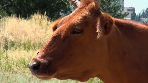 Vtip přírody jménem Rani: nejmenší kráva na světě. Majitelé krávy doufají, že se dostane do Guinnessovy knihy rekordů