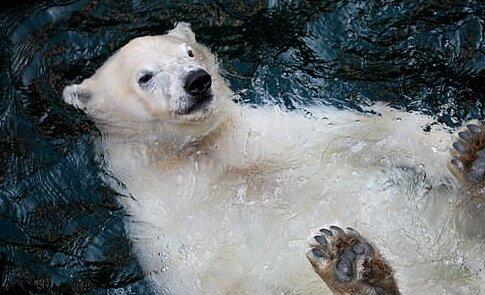 Lední medvěd si užívá každodenního života plaváním v bazénu