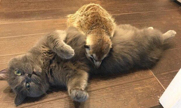 Surikata a kočka. Foto: snímek obrazovky laykni.com