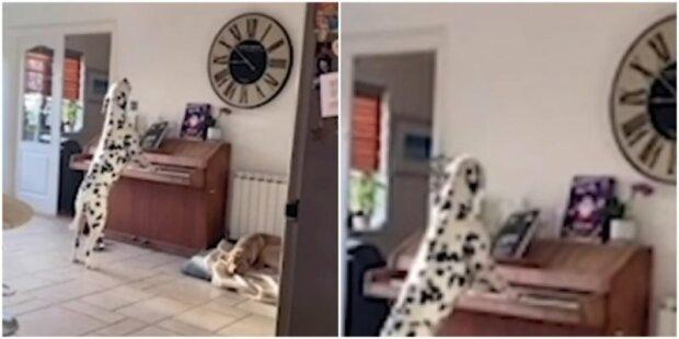 Majitelka uslyšela zvuky klavíru a uviděla svého psa hrát a zpívat