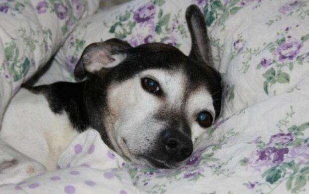 Psi rádi spí na místě majitele: vědci pojmenovali důvody