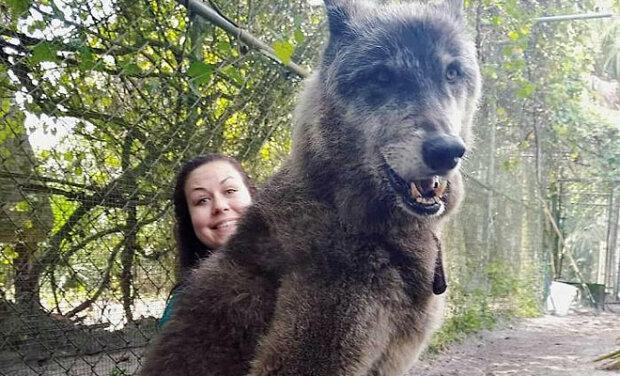 Žena našla vlka na okraji silnice a ho vzala: začal růst a stal se větším než ostatní vlci