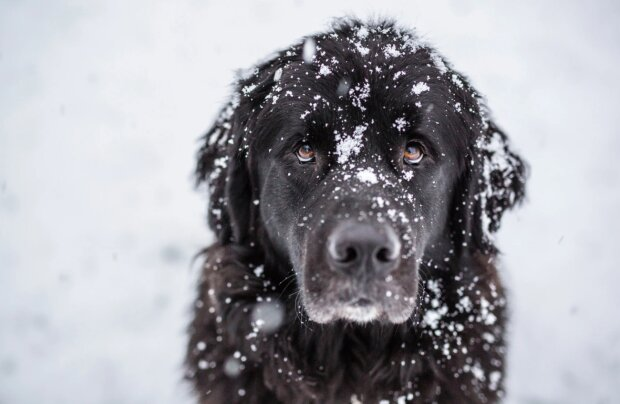 Věrný pes táhl majitele za lano po dobu pěti kilometrů, aby nezmrzl