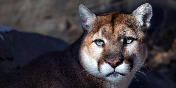 Puma přišla do útulku pro zvířata s prosbou o pomoc: zůstala bez matky