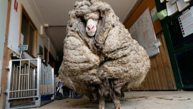 Beran sotva přežil kvůli své vlně, která vážila 35 kg. Musel být zachráněn