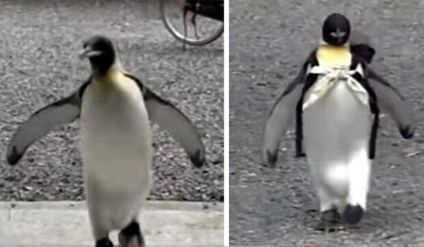 Domácí tučňák se naučil sám chodit na trh a kupovat si ryby: Pro tučňáka byla vyrobena speciální nákupní taška