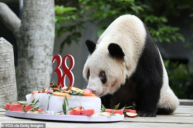 """""""Rozloučení s matkou - hrdinkou"""": co si svět pamatuje na nejstarší pandu, která porodila 153 dětí"""