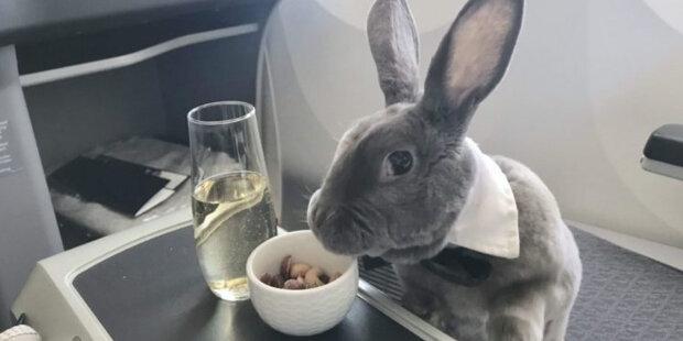 Ušatý pasažér: Jak žije králík, který létá první třídou, pochutnává si na croissanech a nosí kravatu