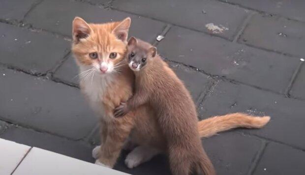 Kočka a lasička. Foto: snímek obrazovky Youtube