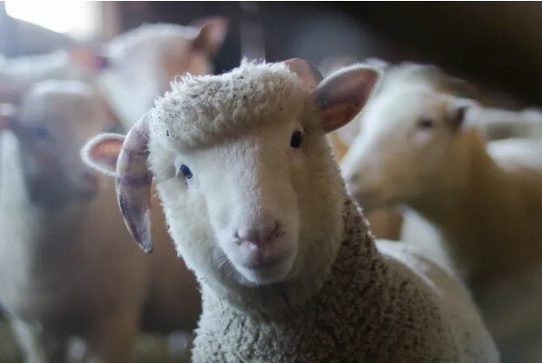 Skvělý čas: ovce si myslí, že je psem a s Collie jsou skutečné přátele
