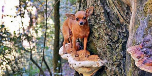 Jak naučit psa hledat houby: Když se pes naučí, hledání hub se stane jeho oblíbenou činností