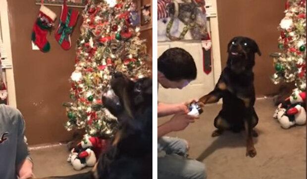 Rotvajler vydává zvuky z jiného světa, když neohrožený majitel začne stříhat drápy: Hlas psa
