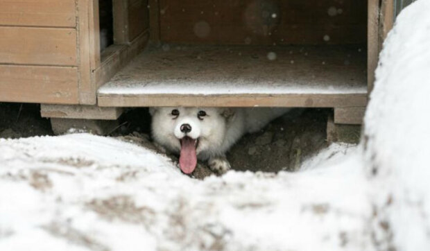 Lišák vyrostl a poprvé v životě viděl skutečný sníh: Zvíře, které nedoufalo v záchranu
