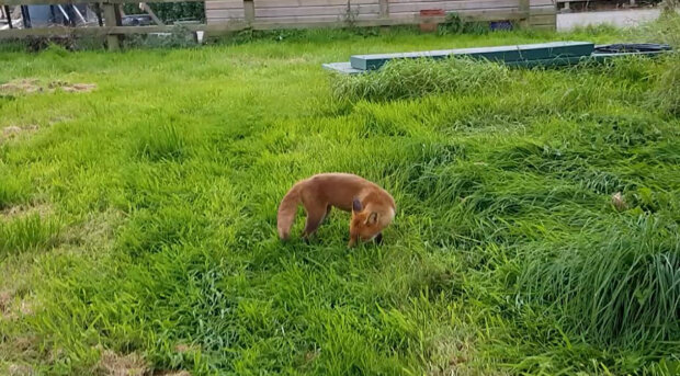 Dvě lišky se zachránily před lovem na cizím dvoře, pak se spřátelily s majitelem: podrobnosti ve fotografiích