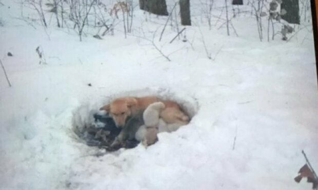 Fenka žila ve sněhu se svými štěňaty: navzdory chladu je maminka neopustila