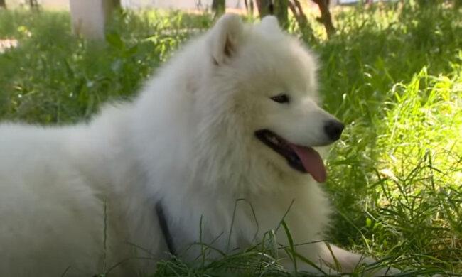 Majitelka si pořídila pro psa, který vůbec nevidí vodícího psa: Jak malý Shiba pomáhá velkému psu orientovat se ve velkém temném světě