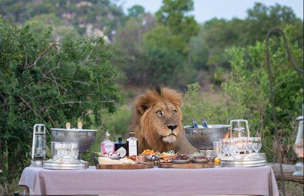 """""""Královská pohostinnost"""": Lev překvapil turisty na safari tím, že se rozhodl k nim přidat se na společný piknik"""