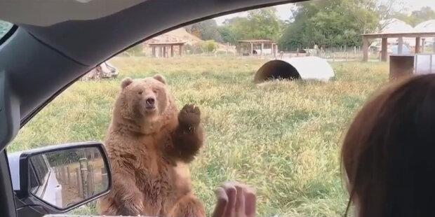 Spokojený a dobře krmený medvěd zamával tlapou na rozloučenou