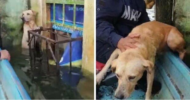 V Mexiku zachránili psa, který stál na zadních nohách, aby nešel pod vodu