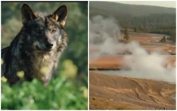 """V roce 1995 čtrnáct vlků radikálně změnili ekosystém Yellowstonského parku a """"otevřelo oči vědcům"""": Vlci byli vypuštěni a udělali svou práci"""