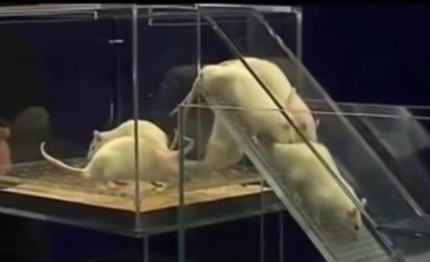 Krysy. Foto: snímek obrazovky YouTube