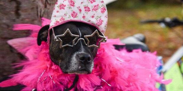 Nejohroženější pes na světě hráje ve filmu a jezdí vlastním autem
