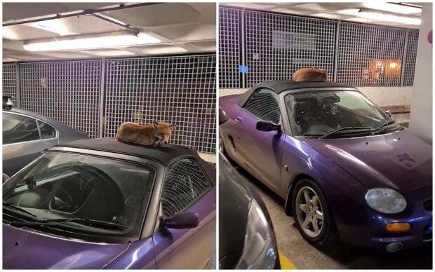 """""""Nečekané setkání"""": Hudebník našel na střeše svého auta spící lišku, která nechtěla odcházet"""
