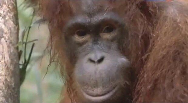 """""""Holčička z něj nechce slézt"""": Orangutan se po ztrátě matky ujal výchovy dcery"""