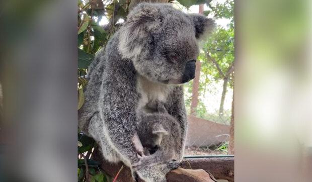 """""""Našel jsem ji na cestě"""": Příběh záchrany slepé koaly a jejího mláděte"""
