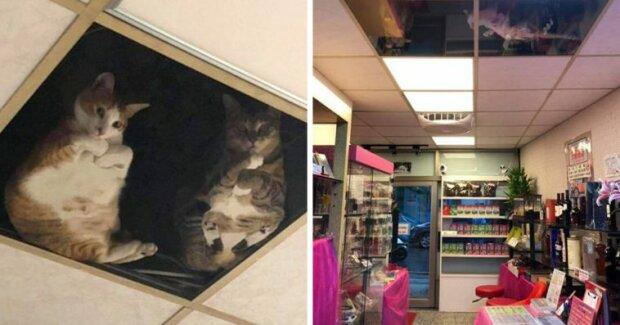 Majitel obchodu vyrobil pro kočky skleněný strop, aby jim nechyběl majitel