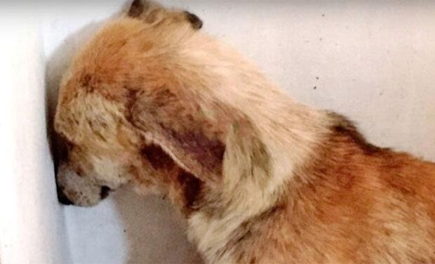 Od špatného majitele dobrovolníci vzali psa, který se celou dobu díval na zeď, dokud mu nepomohl jiný pes