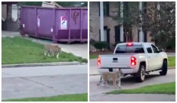 Tygr kráčel tiše mezi domy. Foto: snímek obrazovky YouTube