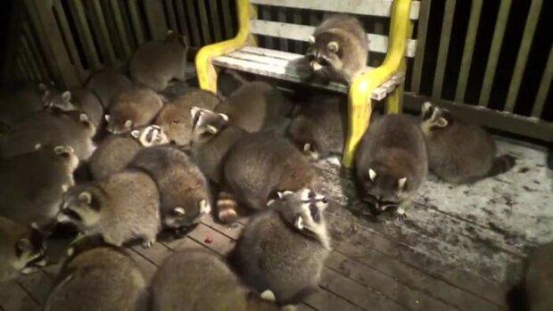 Každou noc přicházejí k Jamesovi na večeři mývalové z celého lesa