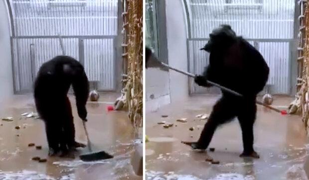Na svátky se připravují nejen lidé: zaměstnanec zoo zapomněl ve voliéře smeták a šimpanz se rozhodl uklidit
