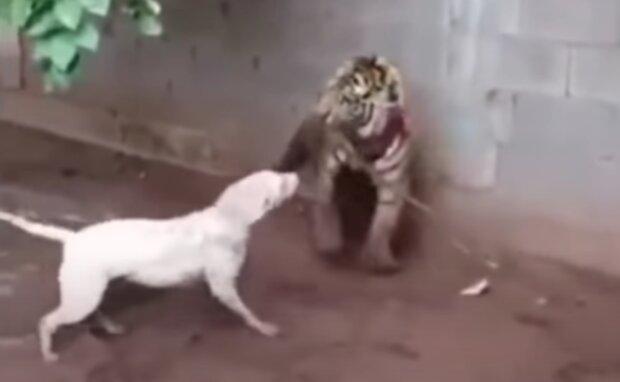 Lev a pes. Foto: snímek obrazovky YouTube