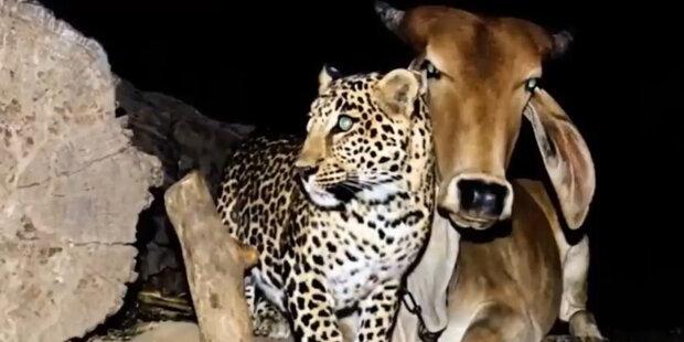 Příběh přátelství: Levhart v noci navštívil stejnou krávu, kterou považoval za matku