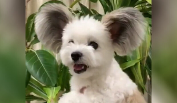 Pes s ušima Mickey Mouse: čtyřletý načechraný krasavec se rád vtipně fotí