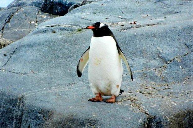 Už je známo, co se stane, když lechtáte bříško tučňáka