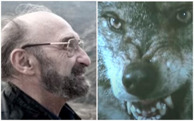 Muž byl součástí smečky a vlci ho zachránili před medvědem a riskovali svůj život